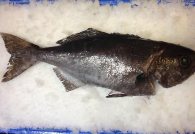 Blue eye trevella on ice