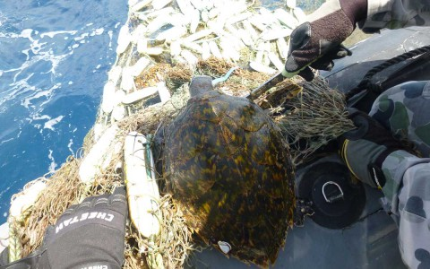 Dehooking a turtle caught in net